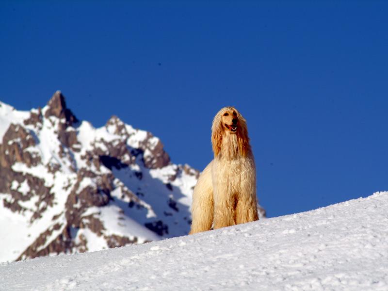 http://www.mashaphoto.com/wallpapers/pet.wallpaper.afghan_on_mountain.jpg